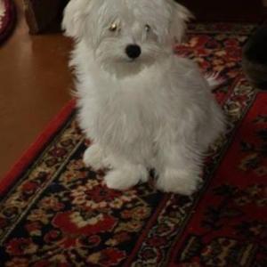 Продается щенок Мальтийской болонки (Мальтезе)