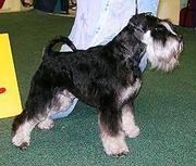 Продаются щенки редкой пароды - Цвергшнауцера (миниатюрный шнауцер)