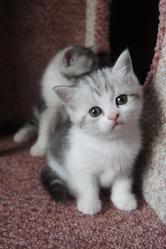 Предлагаем Вам чистокровных шотландских котят